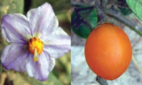 Solanum baretiae's flower and fruit