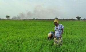 Ethiopia rice farming