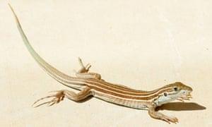 Desert Grassland Whiptail Lizard Aspidoscelis uniparens Arizona