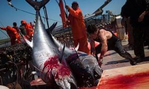 bluefin tuna fishermen