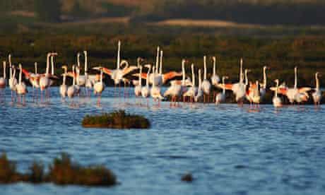 flamingoes on oualidia beach