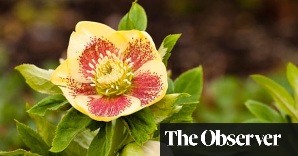 How To Grow Hellebores Life And Style The Guardian
