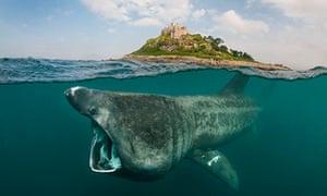 the basking shark returns to british waters environment the guardian