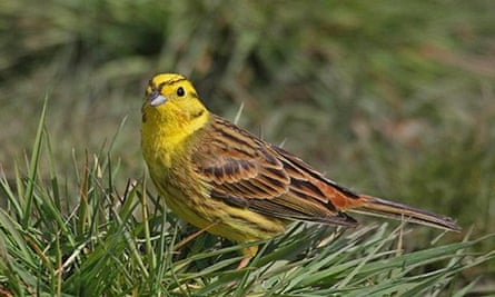 Yellowhammer bird sitting on a tree branch