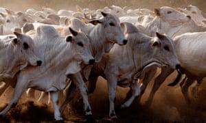 amazon cows