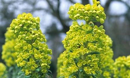 wall flowers - Euphorbia characias