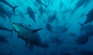 Bluefin tuna, Callum Roberts