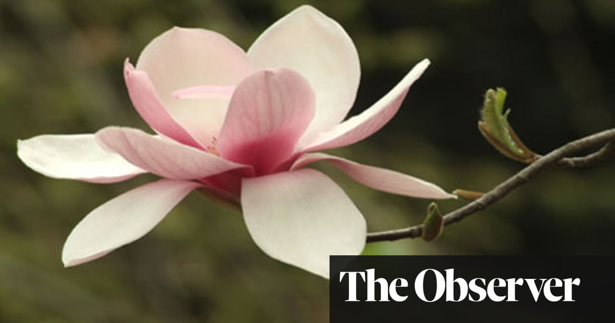 Magnolia Magic How To Grow Our Favourite Flowering Tree Life And