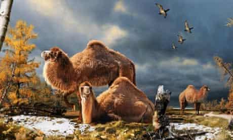 arctic camel paracamelus
