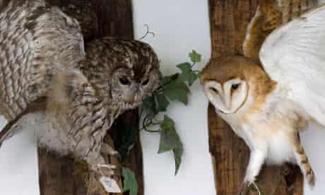 Stuffed Tawny Owl Strix aluco Barn Owl Tyto alba