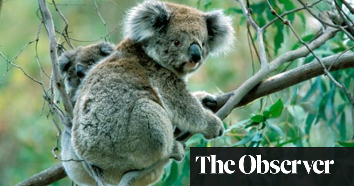 Australia S Koala Crisis Gene Sequencing Provides Hope Against Killer Diseases Wildlife The Guardian