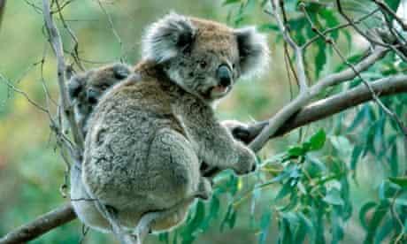 koala vaccination