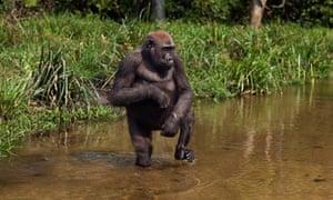 Western lowland gorilla juvenile female