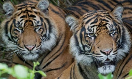 Two Sumatran tigers are pictured in thei