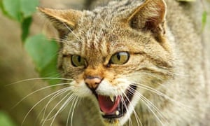 Why the the lynx effect would send Scotland wild | Kevin
