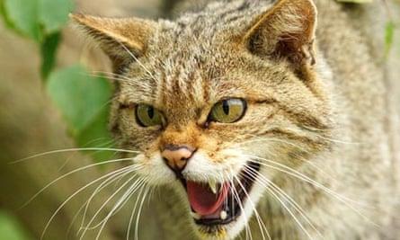 Scottish wildcat, McKenna
