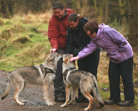 Timber wolves in Cumbria being stroked