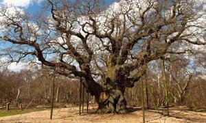 An ancient oak in Sherwood forest