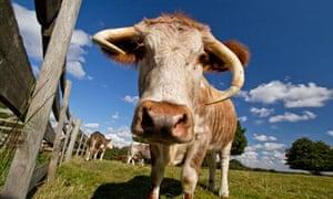 English Longhorn cow