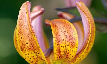 Martagon Lily