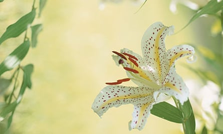 Golden-Rayed Lily
