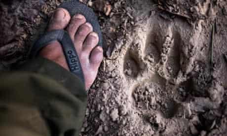 tiger pugmark