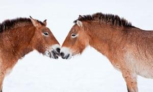 dna przewalski horse