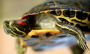 Terrapins can grow to the size of dinner plates,