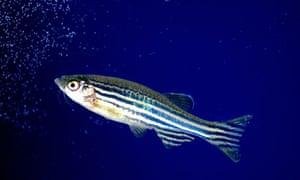 Zebrafish, aquarium.
