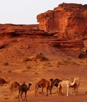 Camels in Timimoun, Algeria