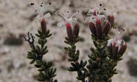 Frankenia fruticosa