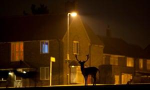 Deer on housing estate