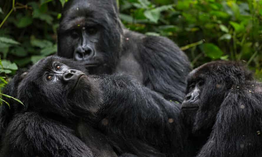 Gorillas Virunga National Park
