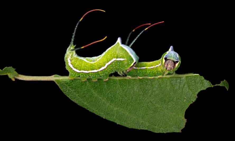 Cerura scitiscripta caterpillar