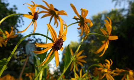 Black eyed Susans, thriller of month