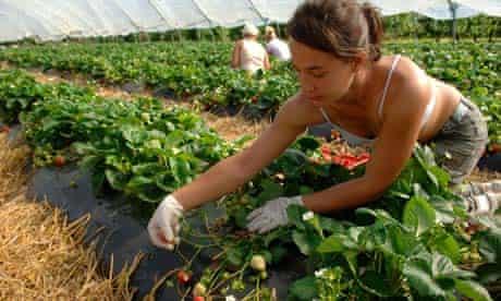 East European workers picking strawberries