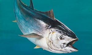 n Atlantic bluefin tuna