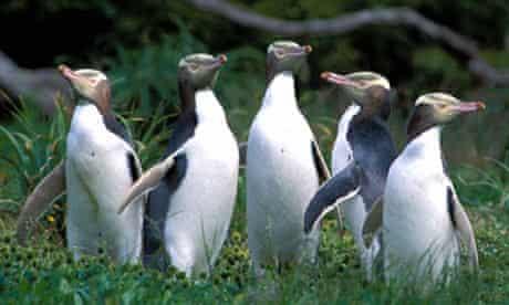 Yellow Eyed Penguins. Image shot 2001. Exact date unknown.