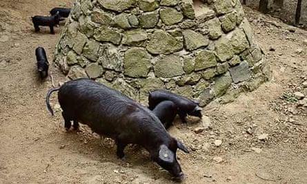Black pigs in Sicily