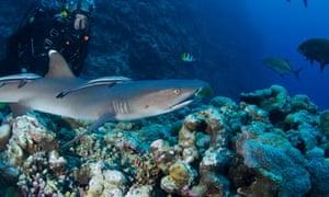 Presenter Monty Halls diving at Osprey reef