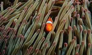 Clownfish in sea off Raja Ampat