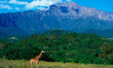 Giraffe at the slopes of Mount Meru, Tanzania