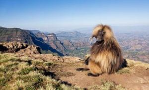 Gelada monkey, Simien mountains, Ethiopia.