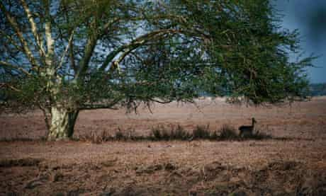 Impala in Gorongosa park, Mozambique.