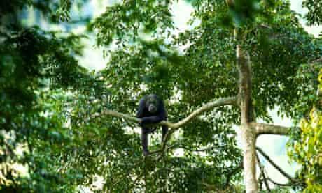 Adult chimpanzee, Nyungwe national park, Rwanda.