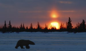 Polar bear at sunset, Manitoba, Canada