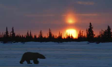 Polar bear at sunset, Manitoba, Canada