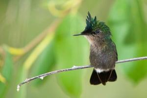 St Kitts wildlife: Antillean crested hummingbird