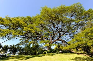 St Kitts wildlife: <strong>Saman tree</strong><br></br>The saman, or rain, tree is native to