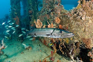 St Kitts wildlife: <strong>Great barracuda</strong><br></br>Dramatically fierce-looking preda